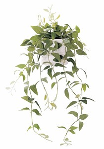 Interior Green Clematis