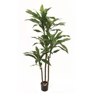 ★MAGIQ★ドラセナフレグランスポット 鉢植え LGREEN