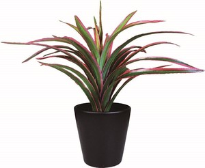 Black Pot Catalyst Dracaena